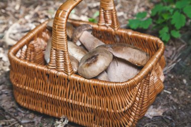 Freshly harvested forest mushrooms in  wicker basket