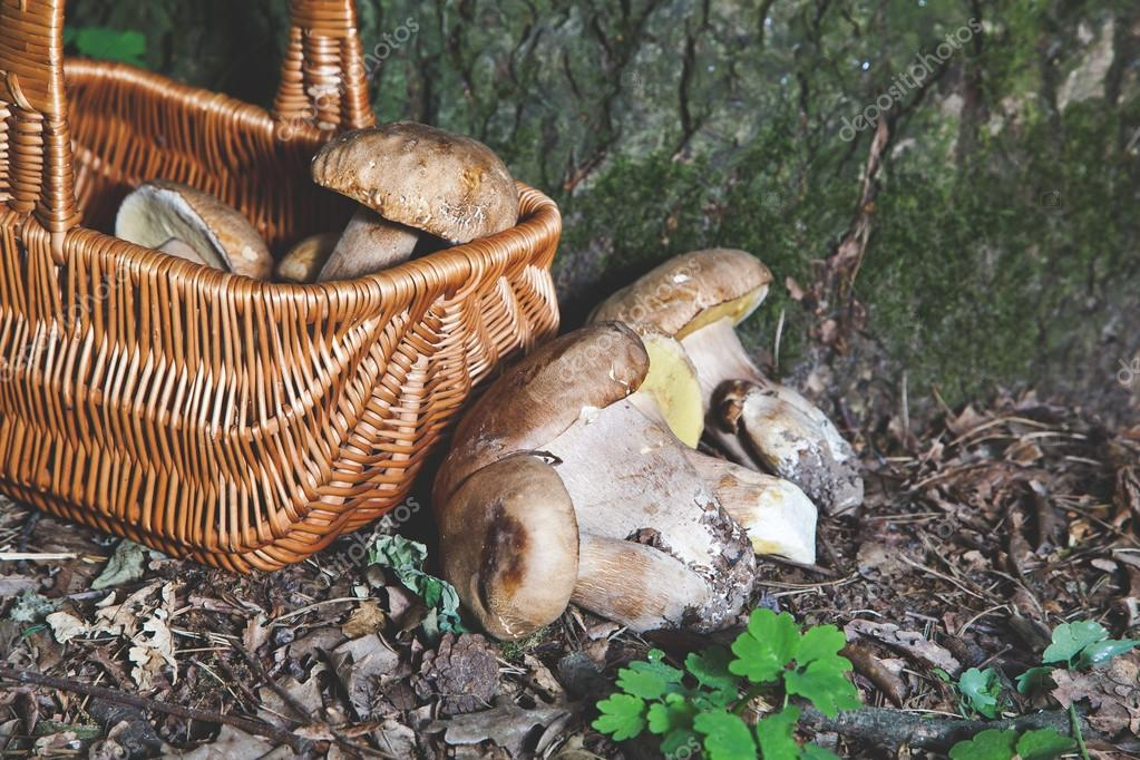 Dream of mushroom picker. Basket with porcini mushrooms.