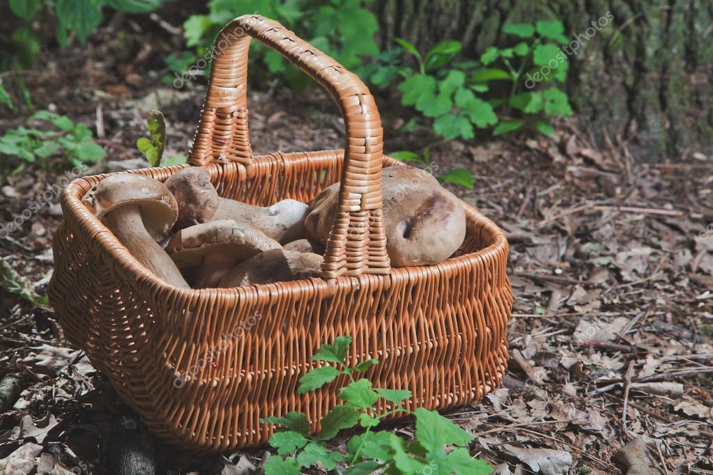 Harvested white mushrooms in a wicker basket in the forest