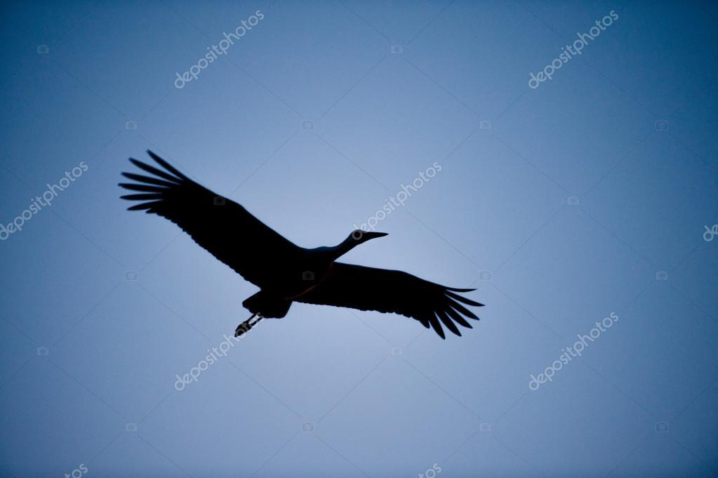 silhueta de uma cegonha voando sobrecarga stock photo ifeelstock