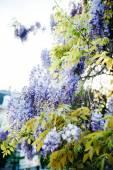 Fotografia Pianta di glicine in blu viola