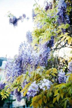 Wisteria plant in blue purple