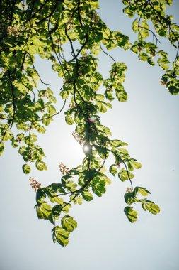chestnut tree branch in bloom