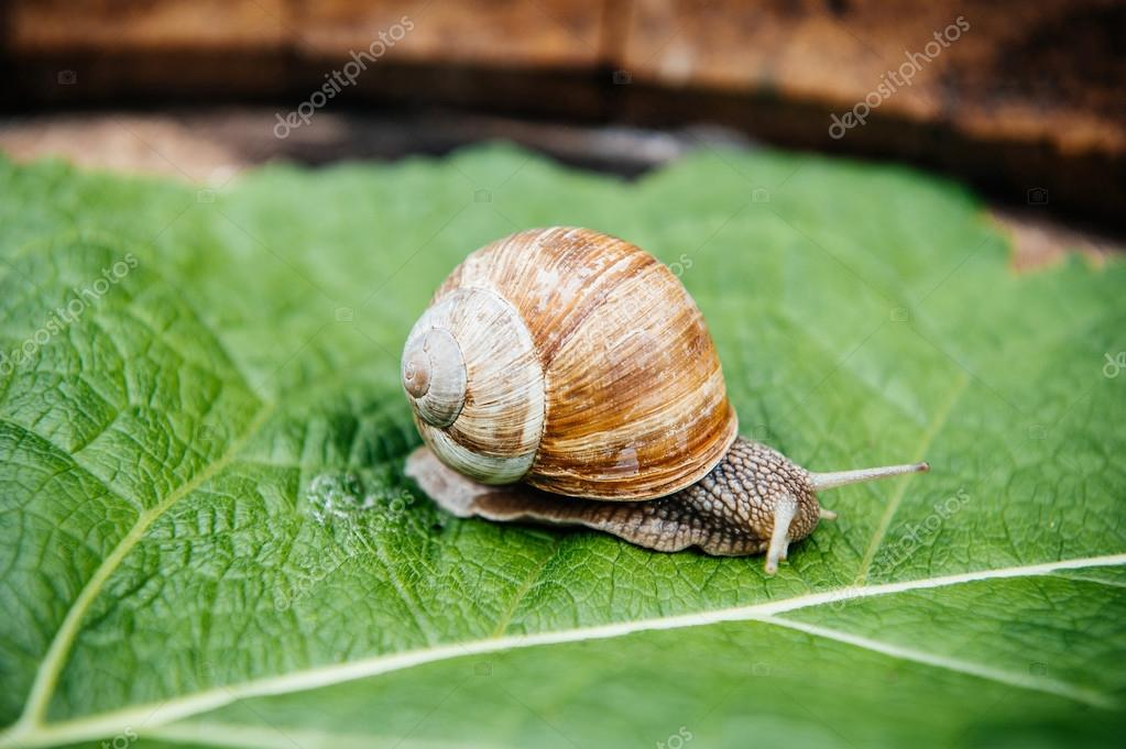snail in the garden on green leaf