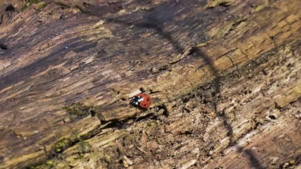 Berušky lezoucí po starém pařezu