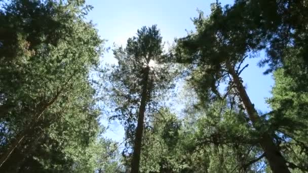 Sluneční světlo borovým lesem
