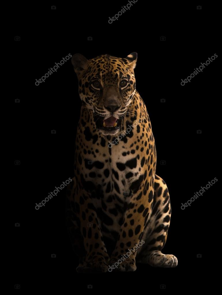 Jaguar Panthera Onca In The Dark With Spotlight Photo By