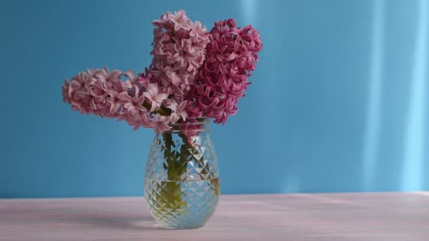 Flowers composition with Pink hyacinth on blue wall background. Bouquet of Spring flower hyacinth in glass vase. Spring Greeting card for Mothers or Womens Day. light movement