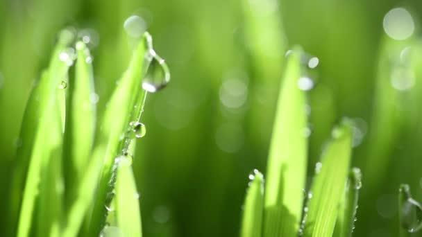 Pohybuje se na zelené jarní deštivé trávě. Soustřeď se na výsadek. Mokrá jarní zelená tráva pozadí s rosou trávníku přírodní. krásná voda kapka jiskru na slunci na listu ve slunečním světle. mělký DOF.