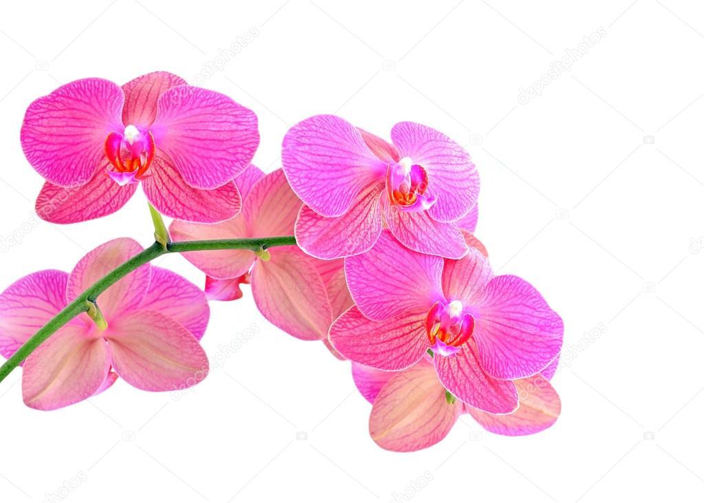 Fleur D Orchidee Rose Photographie Unkas C 99294812