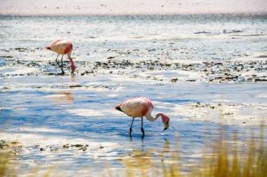 Flamingos eating in the laguna
