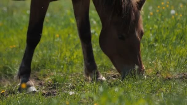 Brown foal grazes eating green grass on lush pasture