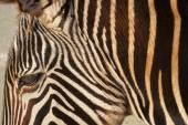 Portrét krásné a divoké zebry