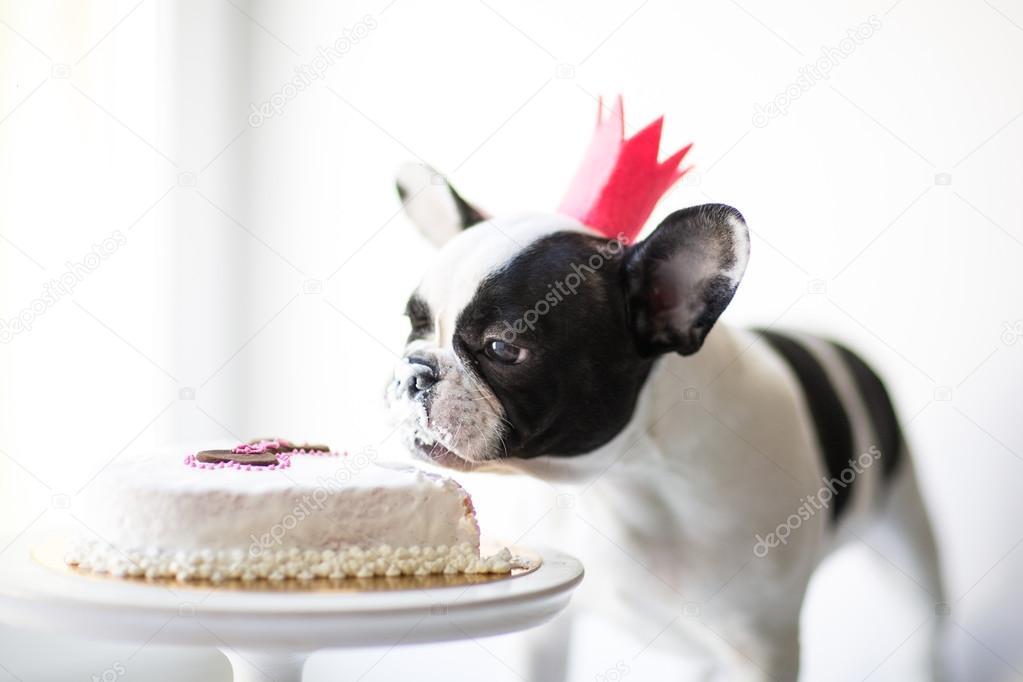 Bulldog Eats A Small Birthday Cake Photo By