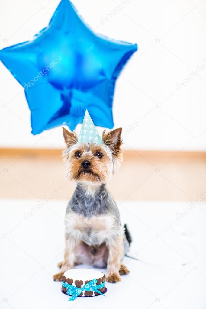 York Hund Frisst Einen Kleinen Geburtstag Cake York Hund Mit Ballon