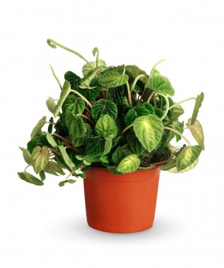 Houseplant - Peperomia caperata a potted plant isolated over whi