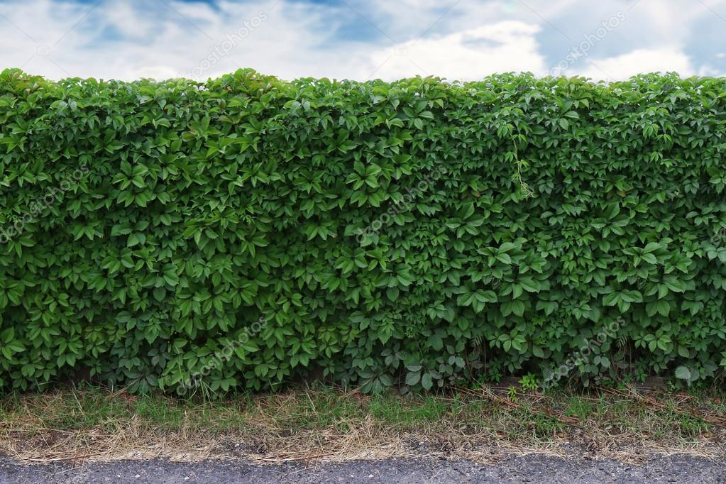 Muur Ideeen Tuin : Ideeën voor tuin groene klimop muur over blauwe hemel u2014 stockfoto
