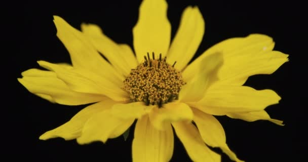 Rotation of the yellow blooming chamomile. Close-up. Isolated
