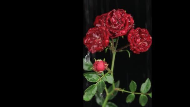 Dešťové kapky na bílé růže na černém pozadí