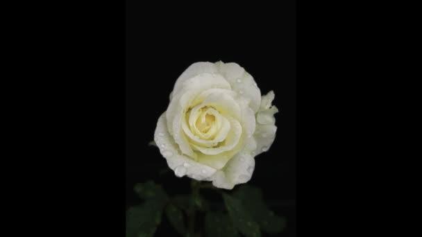 Dešťové kapky na bílé růže, sbližování, na černém pozadí