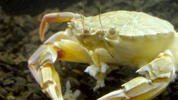 Schwimmkrabben (Macropipus holsatus) essen Muschelfleisch, Schwarzes Meer