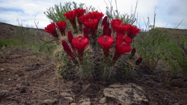 Virágzó növények (Echinocereus sp.) Ismertebb nevén a sündisznó kaktusza.