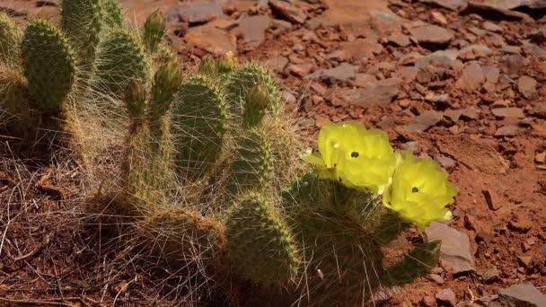Virágzó kaktusznövények, Opuntia sp. sárga virágai. (polyacantha) a Canyonlands Nemzeti Parkban, Utha