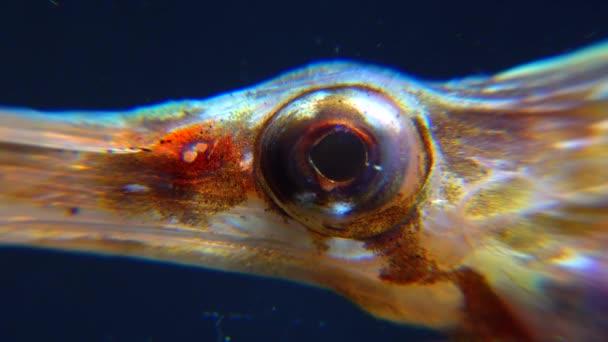 Nahaufnahme. Rotationsauge eines Seenadelfisches (Syngnathus variegatus), Rotbuch Ukraine, Schwarzes Meer
