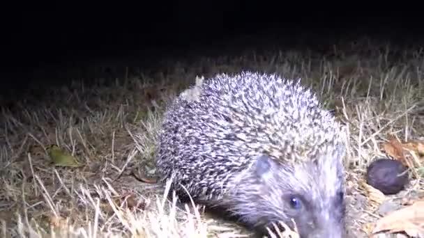 Hedgehog (Erinaceus europaeus) fut a földön, fauna Ukrajna