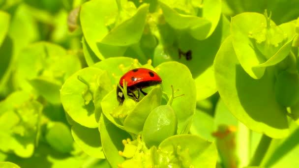 Brouci beruškovití jedí na květinově modré myrtové ostruze, s širokými listy ostružiny (Euforbie myrsinites)