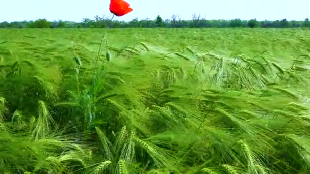 Vörös mák a zöld rozs mezején, fűszertüskék a szélben.