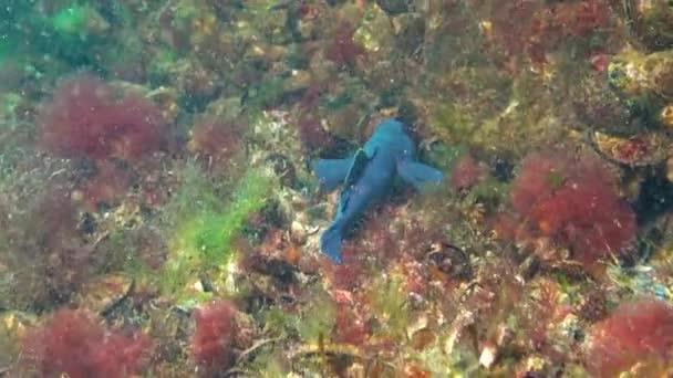 Schwarze Männchen in den Brutfarben der Grundel (Neogobius melanostomus) schwimmen über dem Meeresboden, Schwarzes Meer