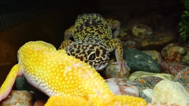 African Fat-tailed Gecko (Hemitheconyx caudicinctus).