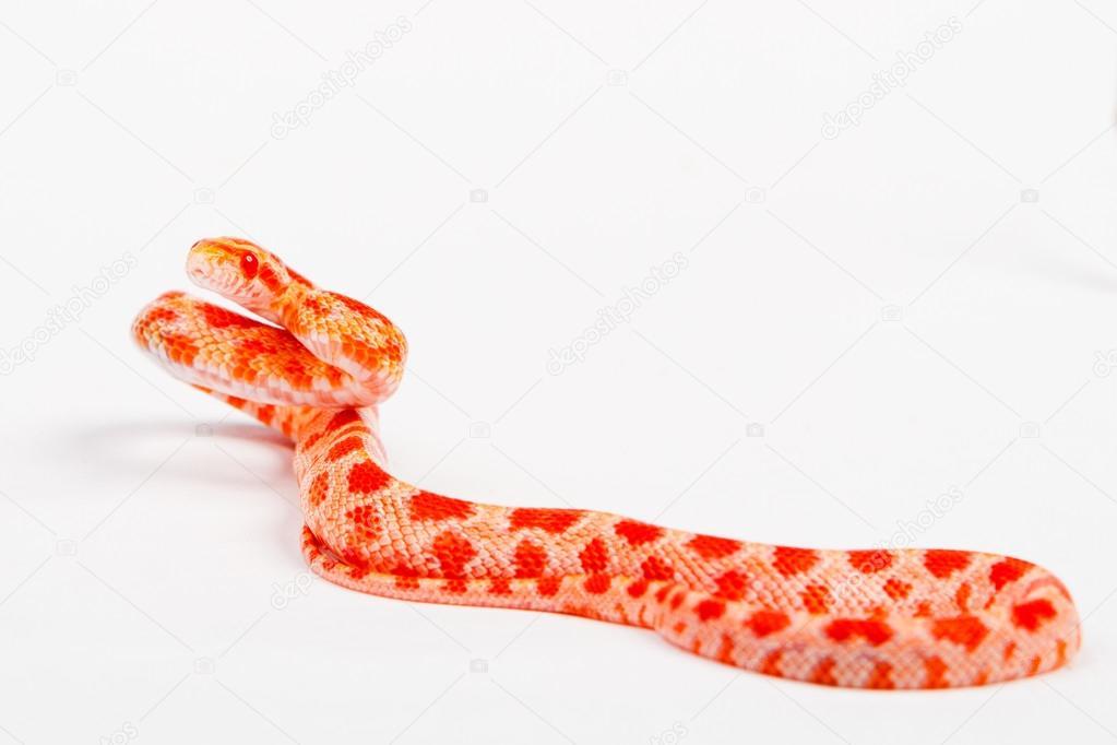 Serpent elaphe guttata — Photographie photovova © #112151916