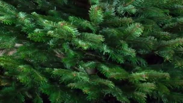 Rotation of the Green Christmas Tree. Loop. Large fluffy Christmas tree slowly rotates in front of the camera close-up