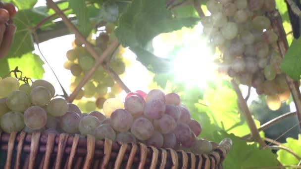 szüret, szőlő