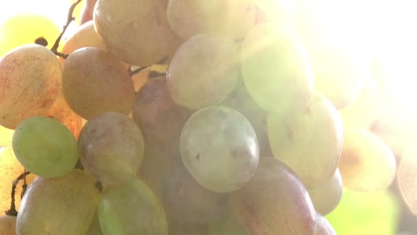 Sun in Bunches of Grapes.