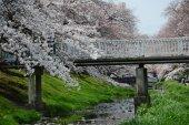 fiore di ciliegia con un ponte vicino tachikawa tokyo