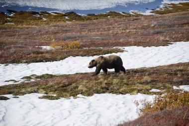 """Картина, постер, плакат, фотообои """"медведь гризли в денали постеры"""", артикул 85289784"""