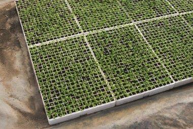 Lettuce plantation seedlings