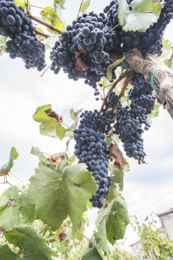 Blue grapes in array