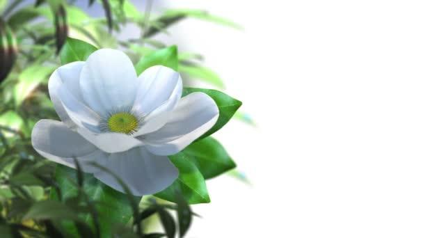 pěstování magnólie květ čas zanikla animované pozadí konceptu