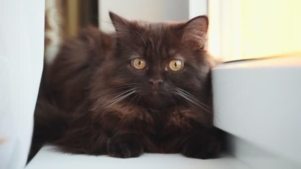 Portrait of cute young kitten. Scottish Fold.