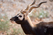 Antilopa Jelení v národním parku. Antilope cervicapra