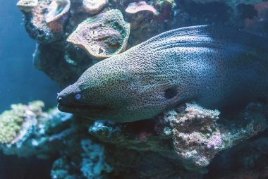 Moray in the depths of the sea.