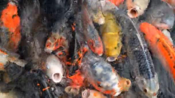 Spousta barevných hlad koi Ryby