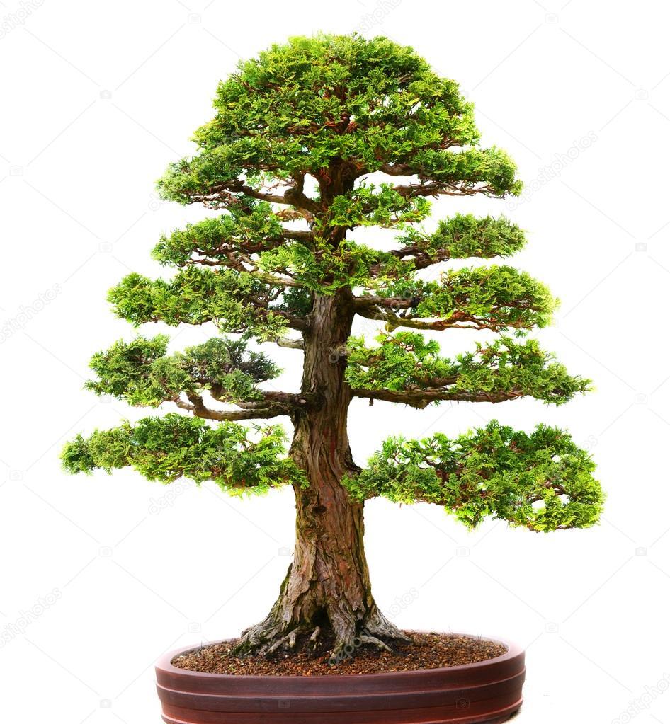 Asian Bonzai tree