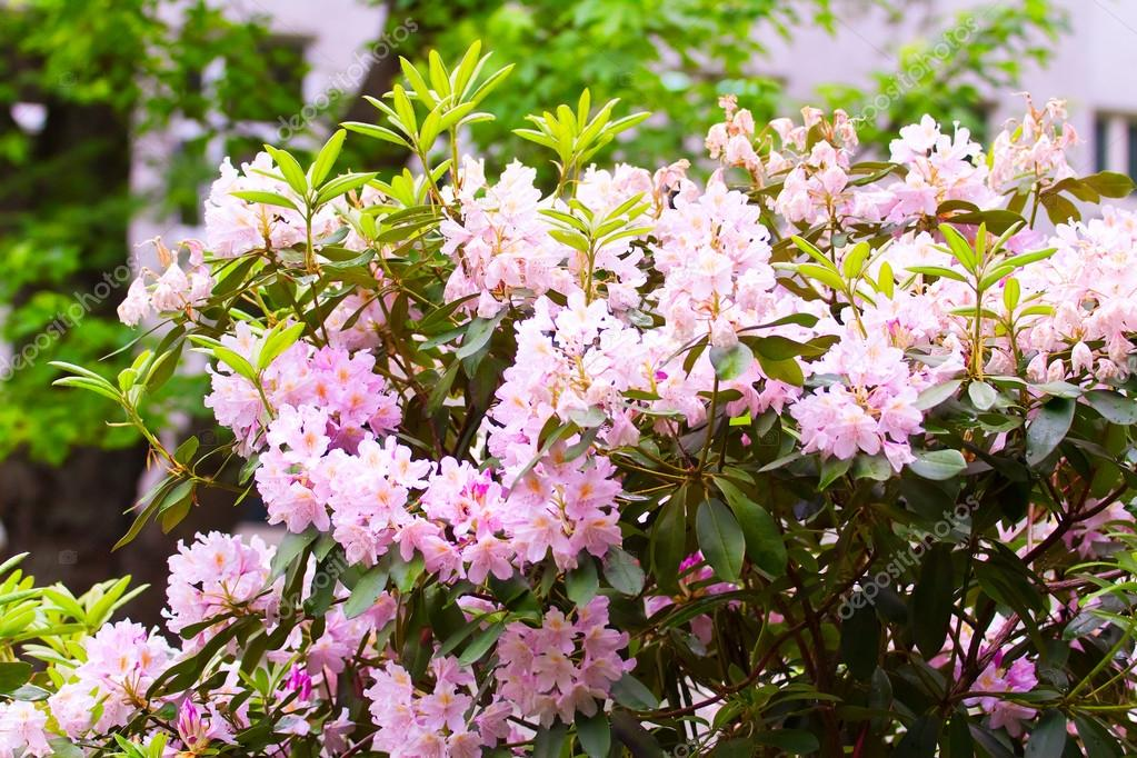 rosa rhododendren bl hen str ucher im garten stockfoto 115414840. Black Bedroom Furniture Sets. Home Design Ideas