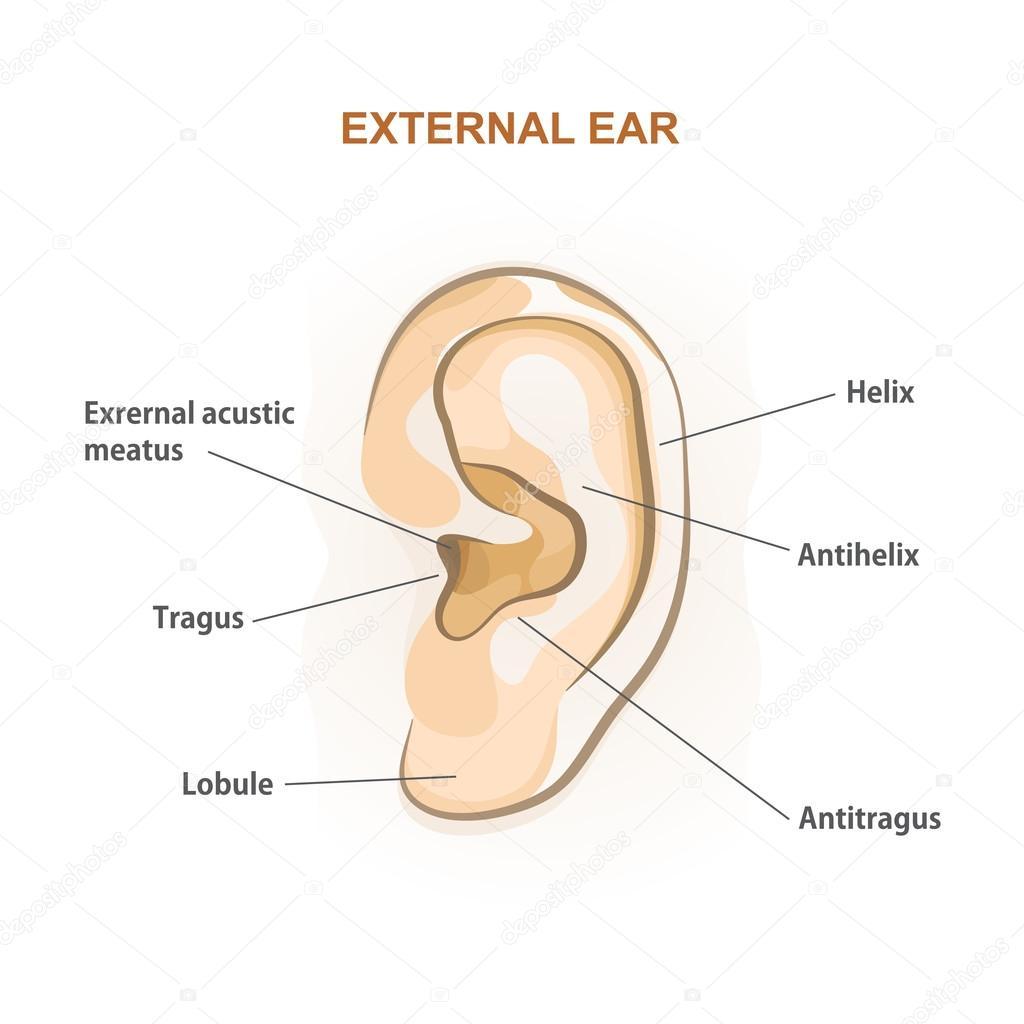 External ear, medical brochure — Stock Vector © nnfotograf #95710246