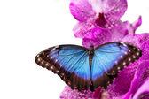 Azúrlepke Kék Morpho a orchidea virág